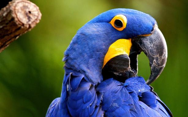 Blue Parrot Desktop Wallpapers
