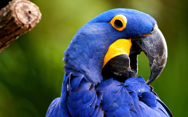 Blue Parrot Desktop Wallpapers