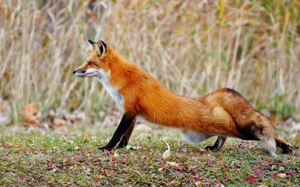 Fox Animals Desktop Wallpapers