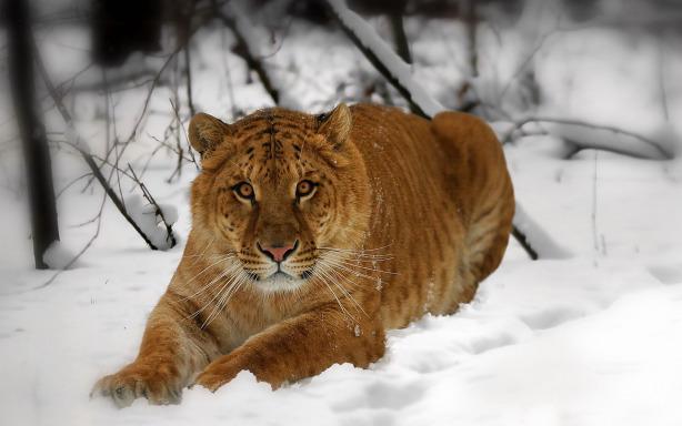 Snow Tiger Desktop Wallpapers